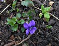 Dog violet